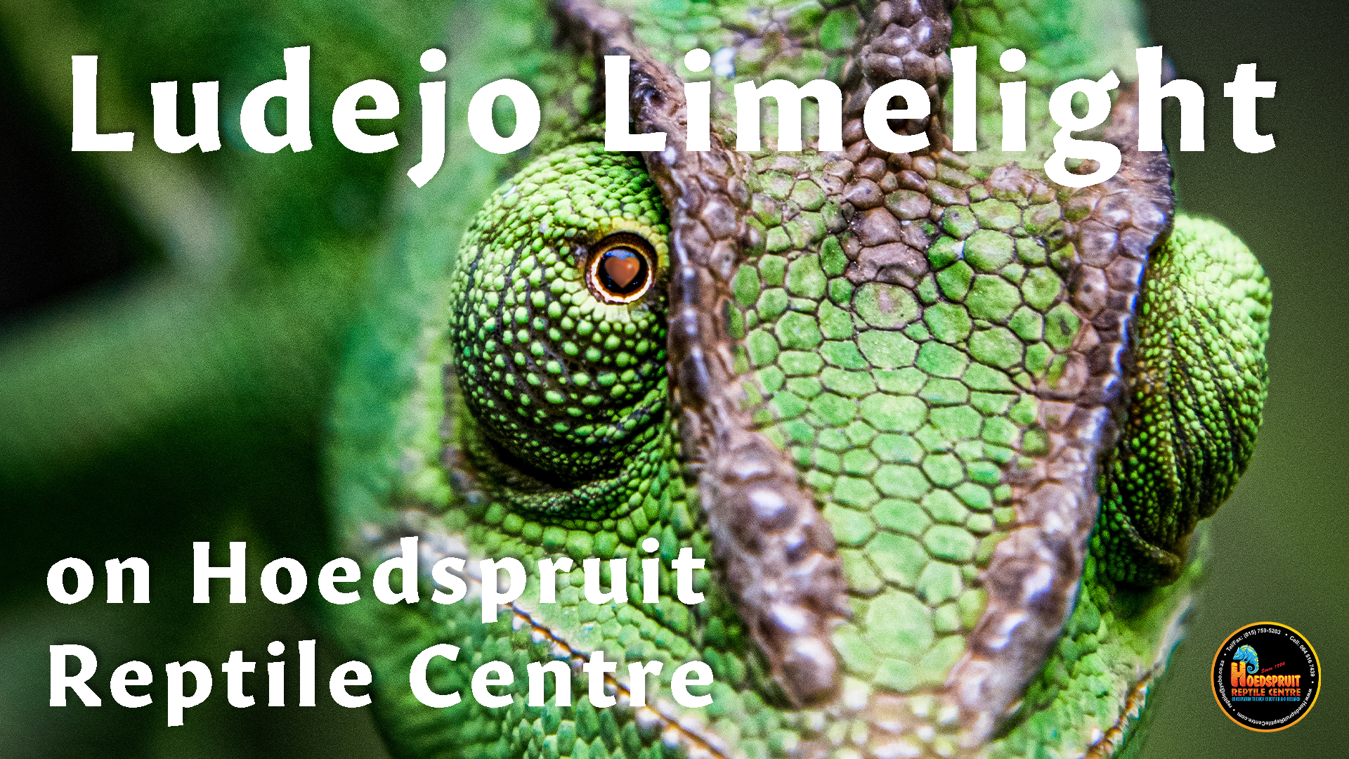 Hoedspruit Reptile Centre (HRC) is one of the oldest and most well-known reptile centres in Africa - This is their cameleon